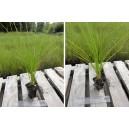Carex Secta (Pukio, Niggerhead)