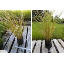 Anemanthele Lessoniana (Gossamer Grass)